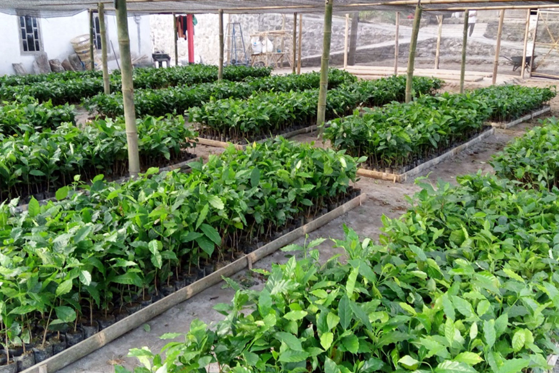 Agroforestri Kopi, Kompromi Untuk Kehidupan yang Lebih Baik