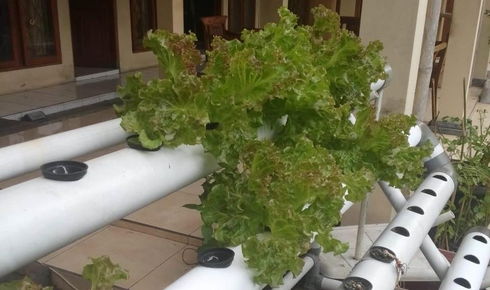 Menanam Sayuran Hidroponik Dalam 5 Langkah Tanilink