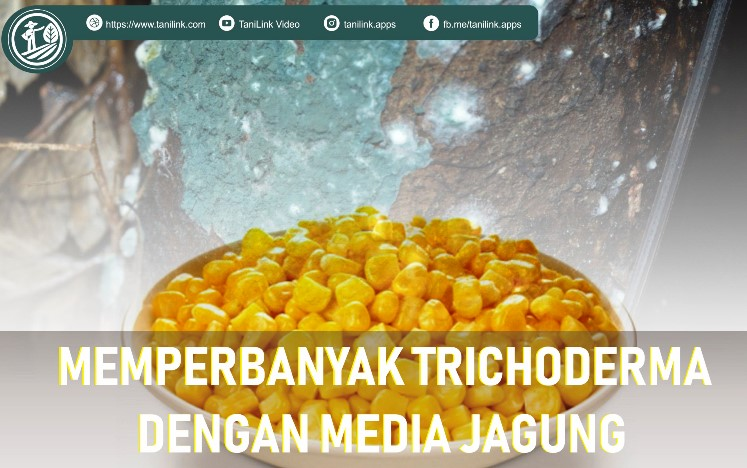 Memperbanyak Trikoderma Dengan Media Jagung