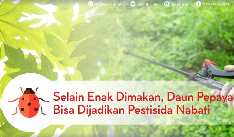 Selain Enak Dimakan, Daun Pepaya Bisa Jadi Pestisida Nabati