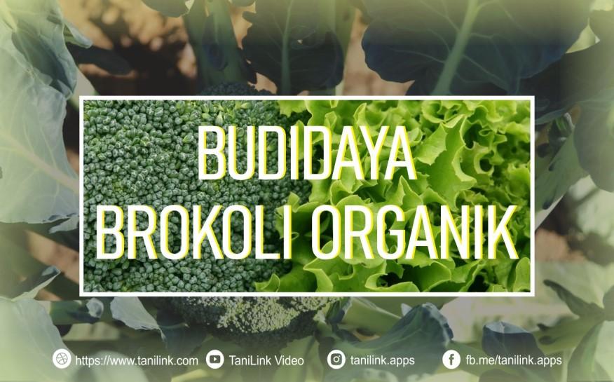 Cara Budidaya Brokoli Organik