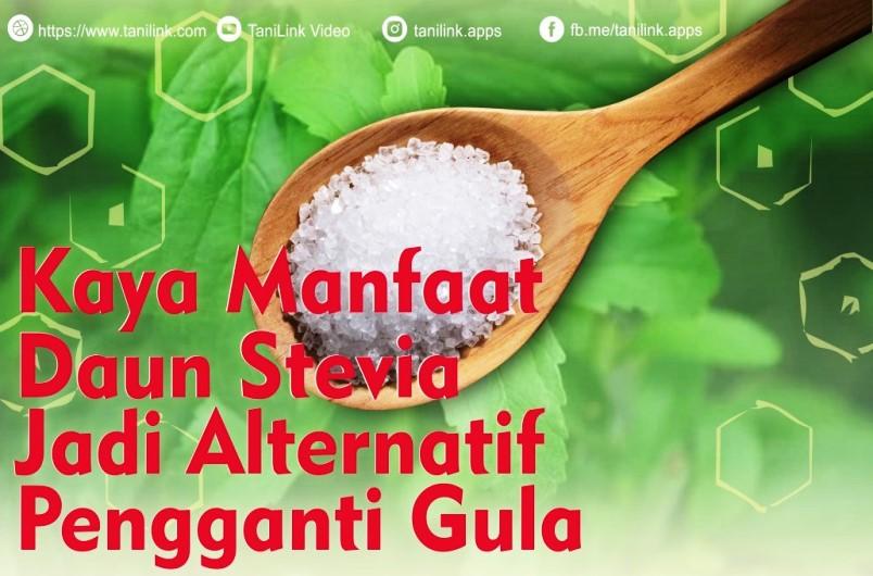Kaya Manfaat, Daun Stevia Jadi Altrenatif Pengganti Gula