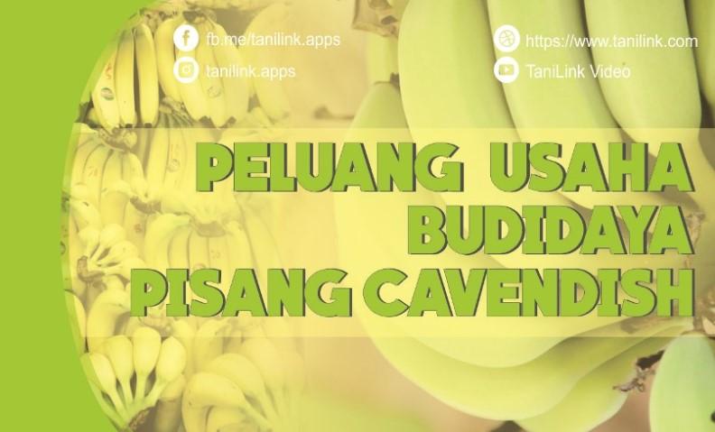 Peluang Usaha : Budidaya Pisang Cavendish