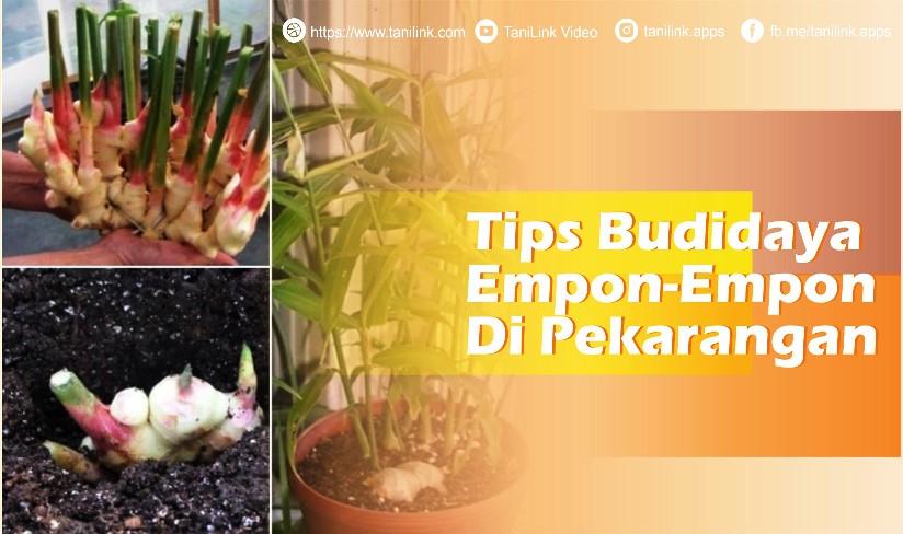 Tips Budidaya Empon-empon di Pekarangan