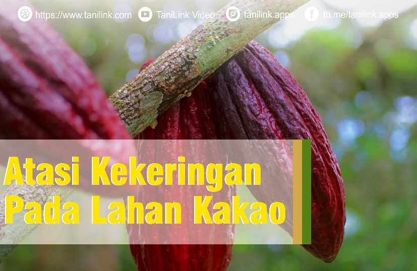 Atasi Kekeringan Pada Lahan Kakao