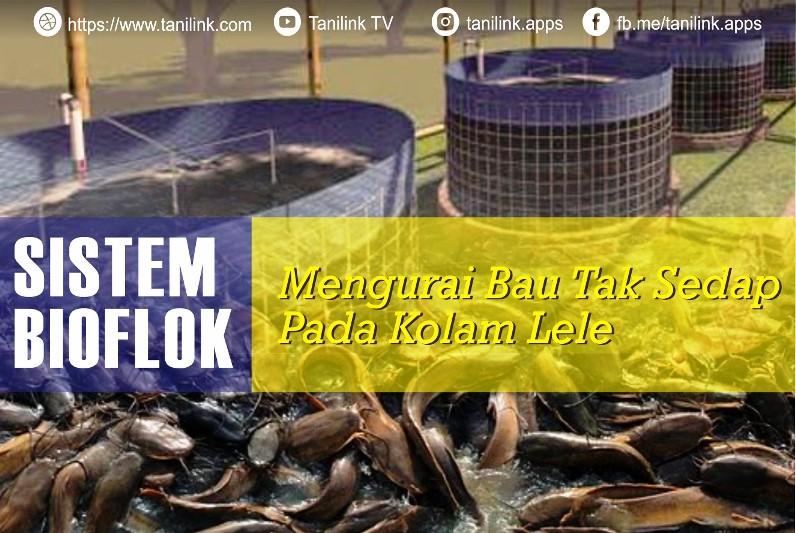 Sistem Bioflok Mengurangi Bau Tak Sedap Pada Kolam Lele