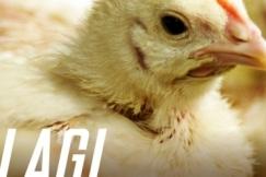 Lagi - Lagi Kartel Ayam?