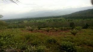 Tanah kurang bagus dan tanamannya dibiar 3 tahun tanpa di rawat