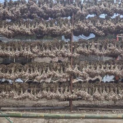 Bawang putih lokal (tidak import)